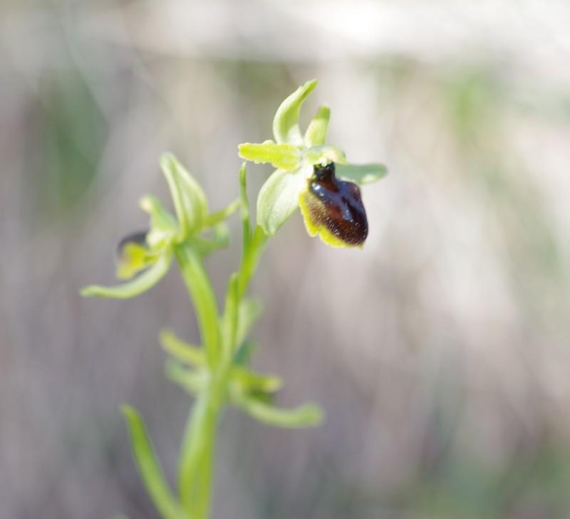 Ophrys x apicula  Imgp1110