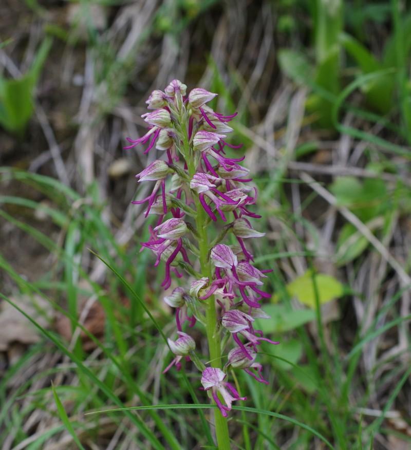 Orchis x bergonni Imgp1415