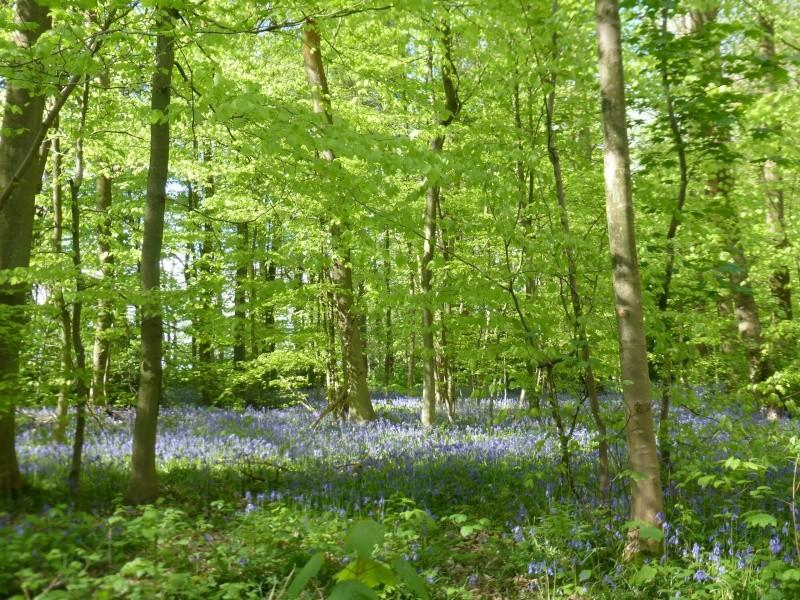 En forêt verte à la découverte des Violettes  2015-015