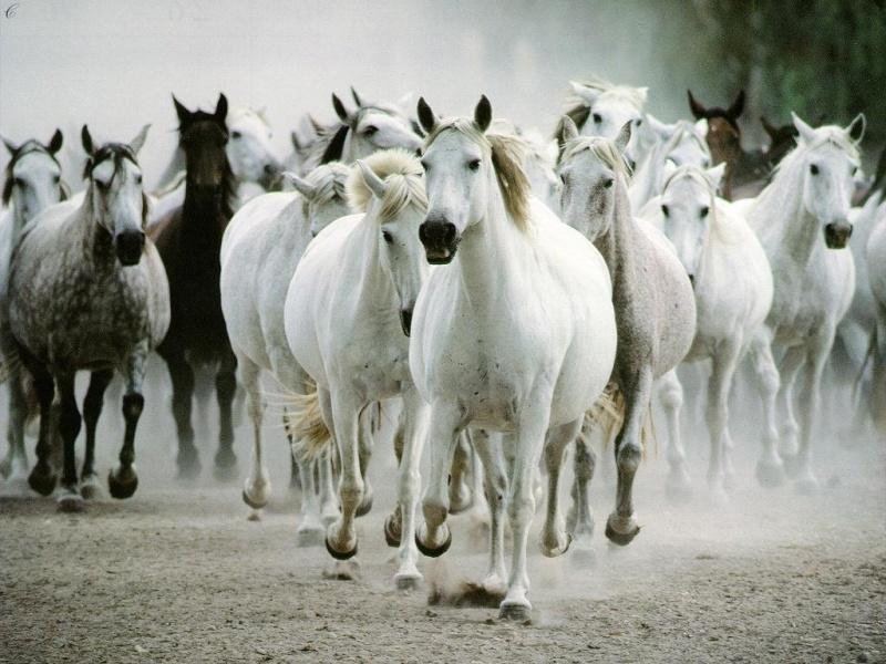 les chevaux  310