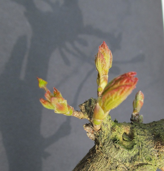 La nostra Primavera - Pagina 2 Acero_10
