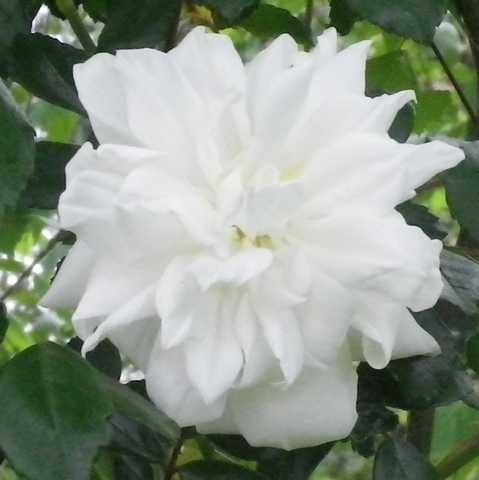 Rosa 'Albéric Barbier' !!! 26042010