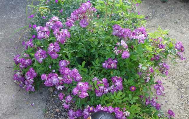 Rosa 'Veilchenblau' ! - Page 2 31052018