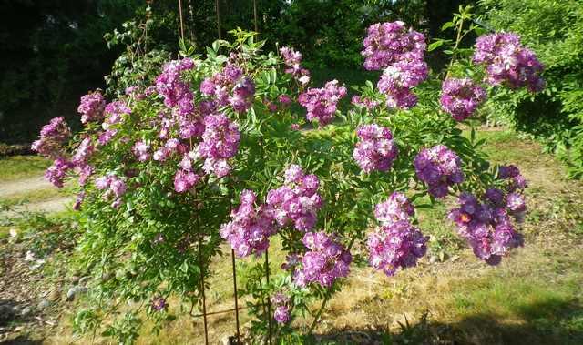 Rosa 'Veilchenblau' ! - Page 2 31052019