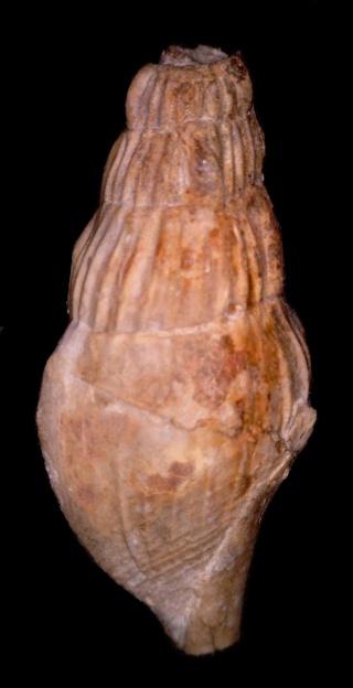 Stromboidea, bartoniense 2 -rimel10