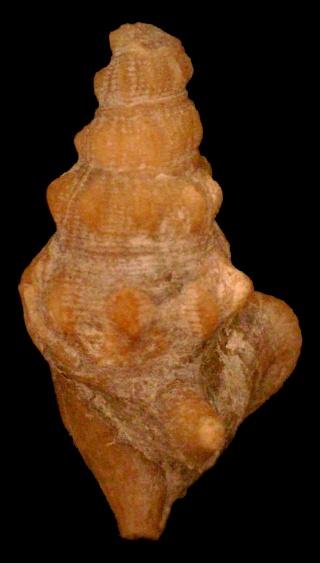 Strombidea Bartoniense. -strom12
