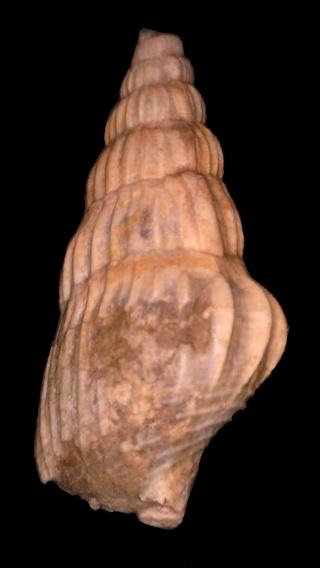 Stromboidea, bartoniense 2 Rimell10