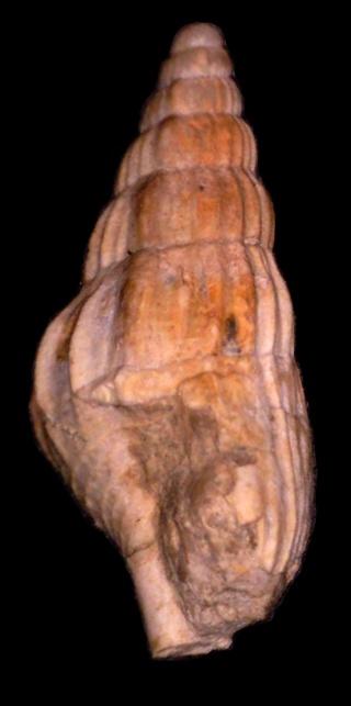 Stromboidea, bartoniense 2 Rimell11