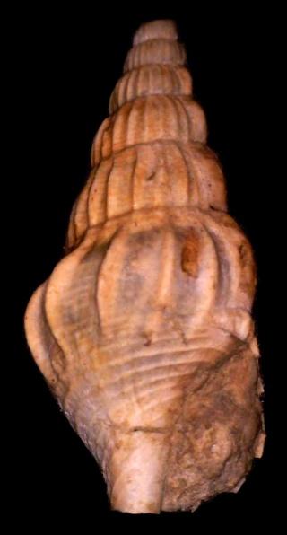 Stromboidea, bartoniense 2 Rimell12