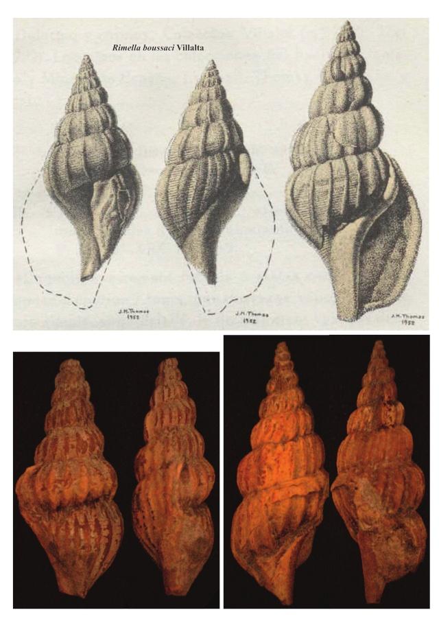 Stromboidea, bartoniense 2 Stromb10