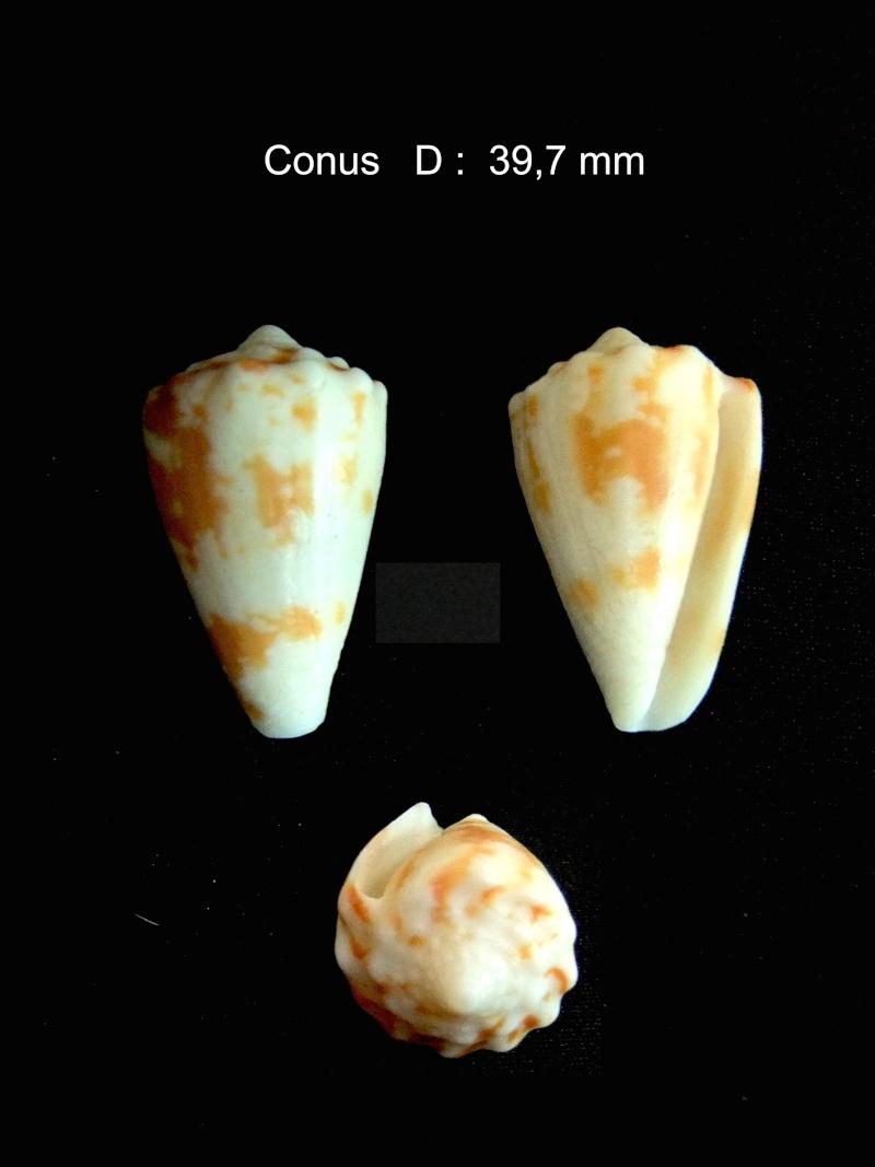 conus_regius Conus_10