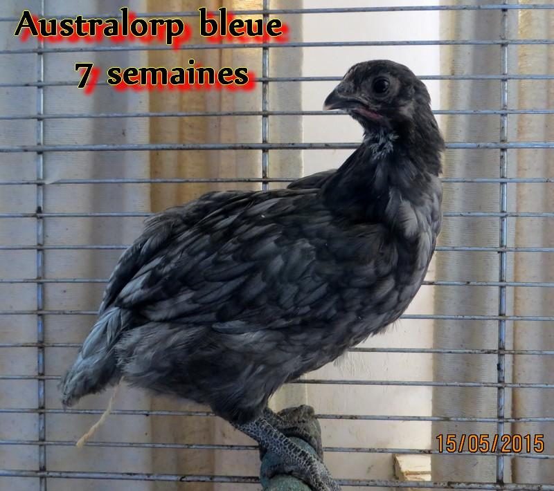 Australorp Img_0211
