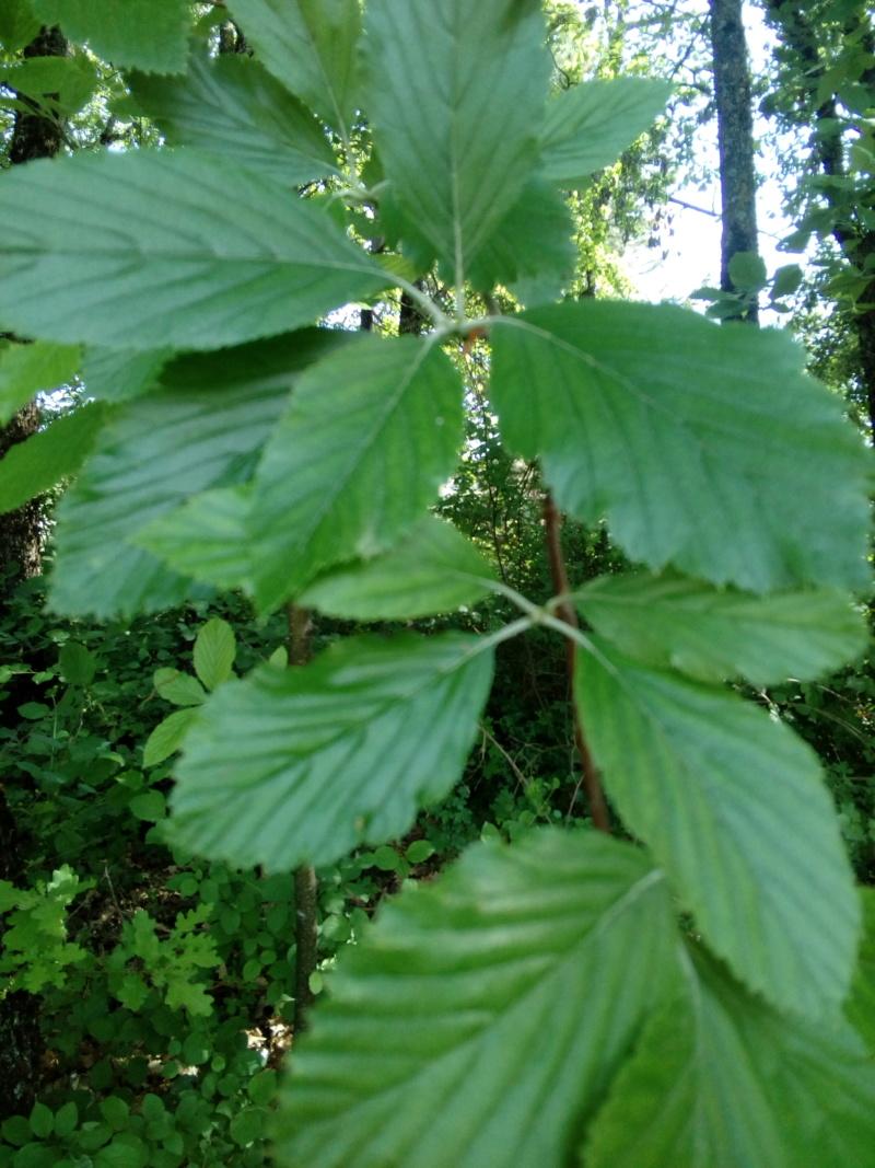 Quel est cet arbre ? Img_2038