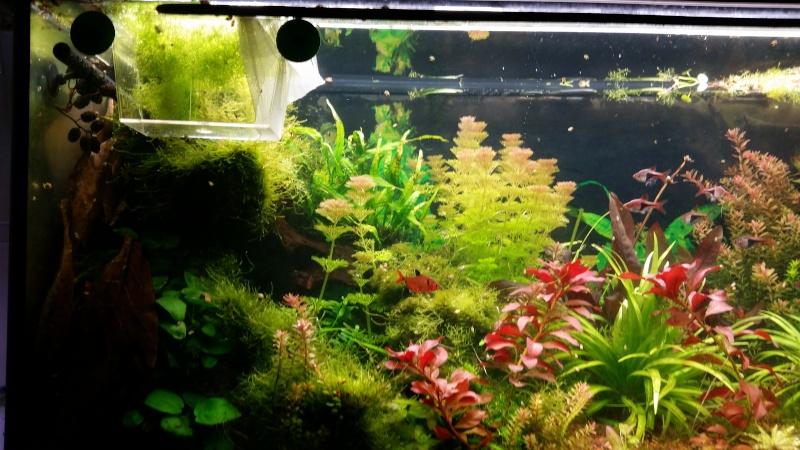 2 aquariums 240L : Spécifique Cacatuoides et Communautaire 20150311
