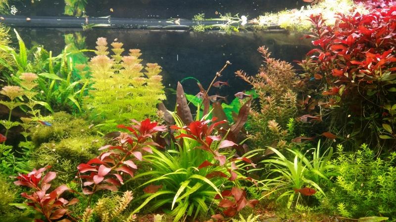 2 aquariums 240L : Spécifique Cacatuoides et Communautaire 20150322