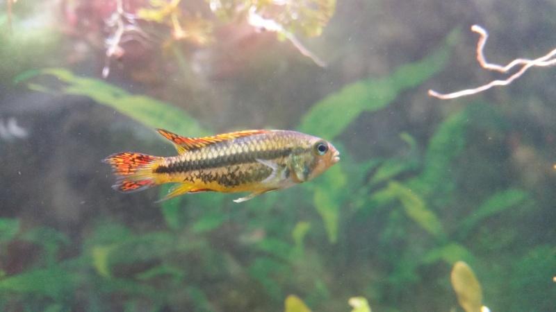 2 aquariums 240L : Spécifique Cacatuoides et Communautaire 20150435