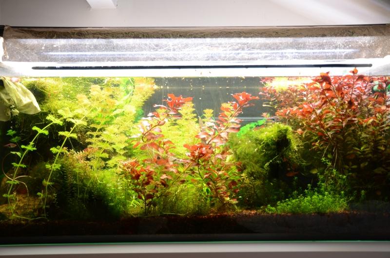 2 aquariums 240L : Spécifique Cacatuoides et Communautaire Dsc_3511