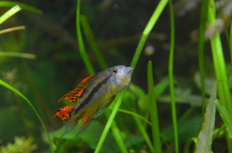 2 aquariums 240L : Spécifique Cacatuoides et Communautaire Dsc_3515