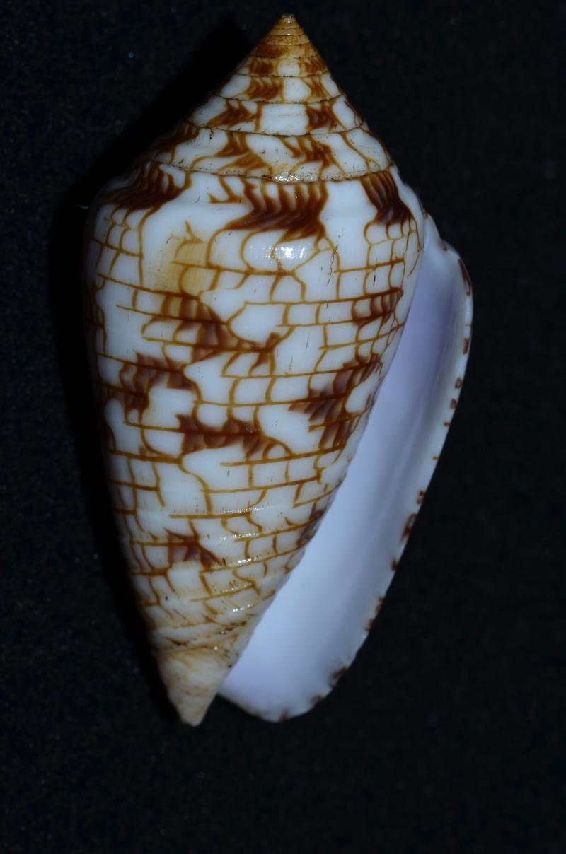 Conasprella (Ximeniconus) lucidus  Wood, 1828 Conus_70