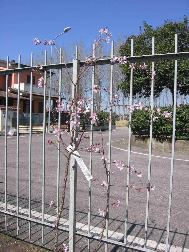prunus kurilensis ruby 00310