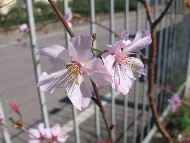 prunus kurilensis ruby 00410
