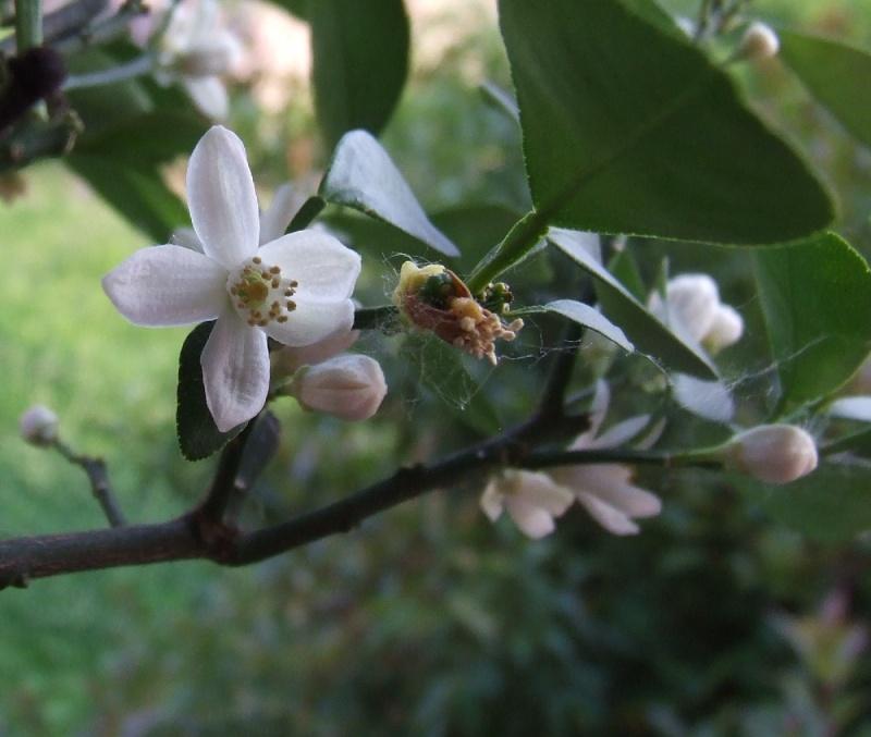 La nostra Primavera - Pagina 5 Citrus15