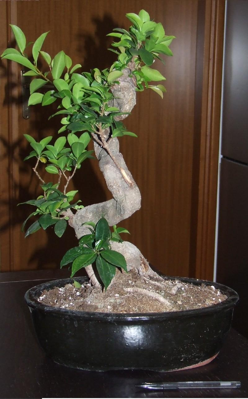 """Ficus Retusa """"Perronius"""" - Pagina 3 Ficus_11"""