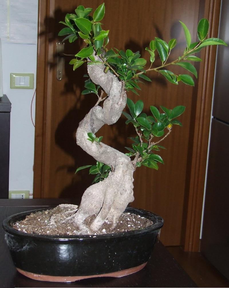 """Ficus Retusa """"Perronius"""" - Pagina 3 Ficus_12"""