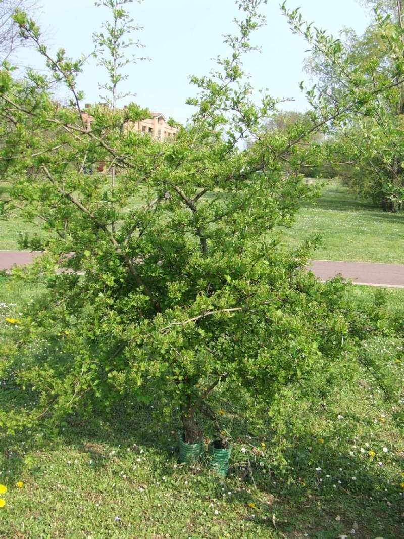 Riconoscimento arbusti: Biancospino e Berberis Tipoa_10