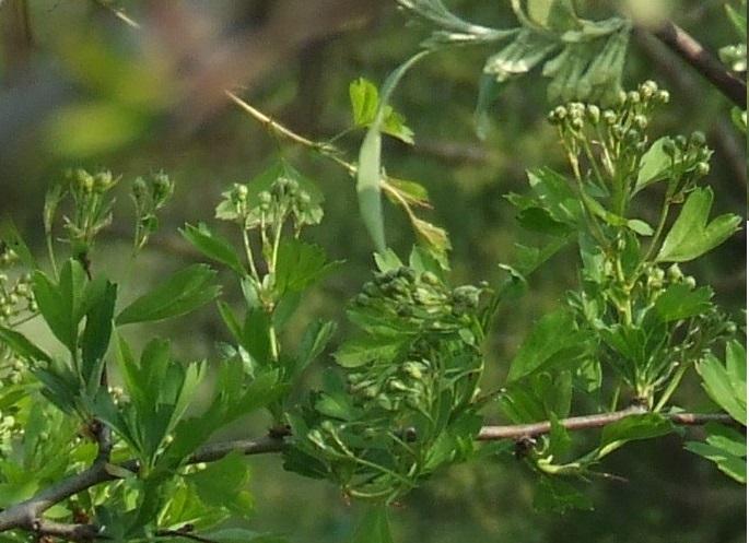 Riconoscimento arbusti: Biancospino e Berberis Tipoa_12