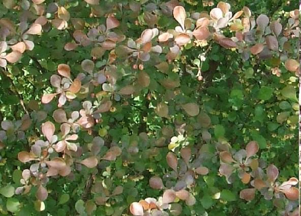 Riconoscimento arbusti: Biancospino e Berberis Tipob_13