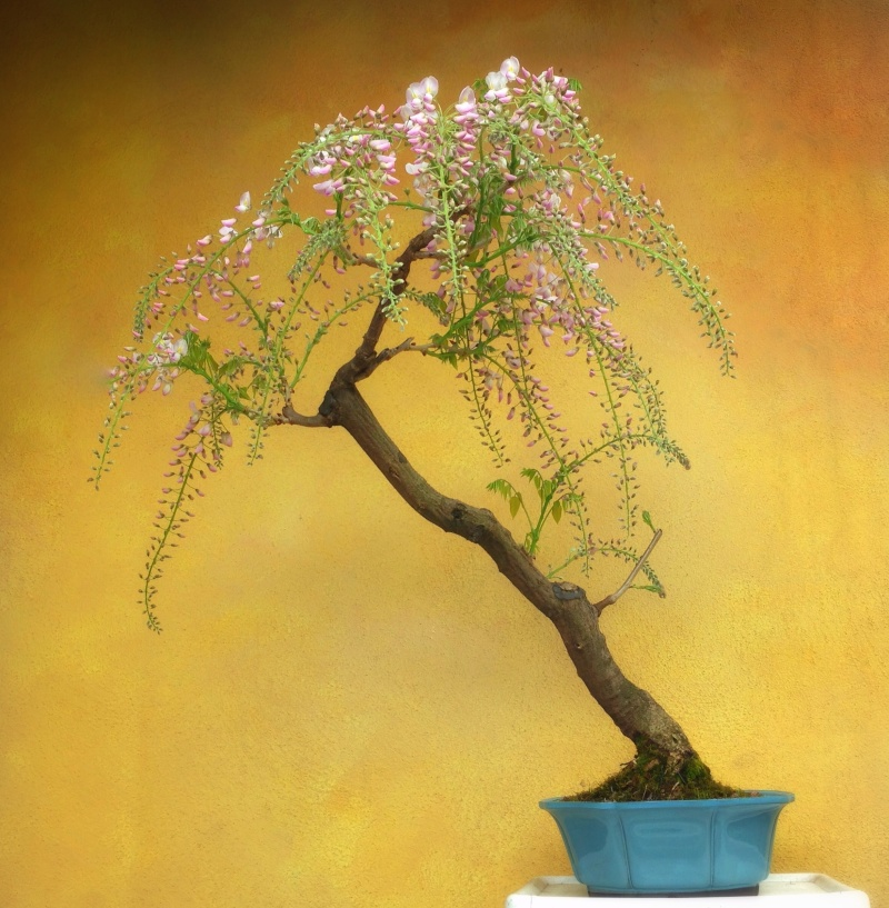 [W.I.P.] Glicine Floribunda Rosea - Pagina 2 Fullsi12