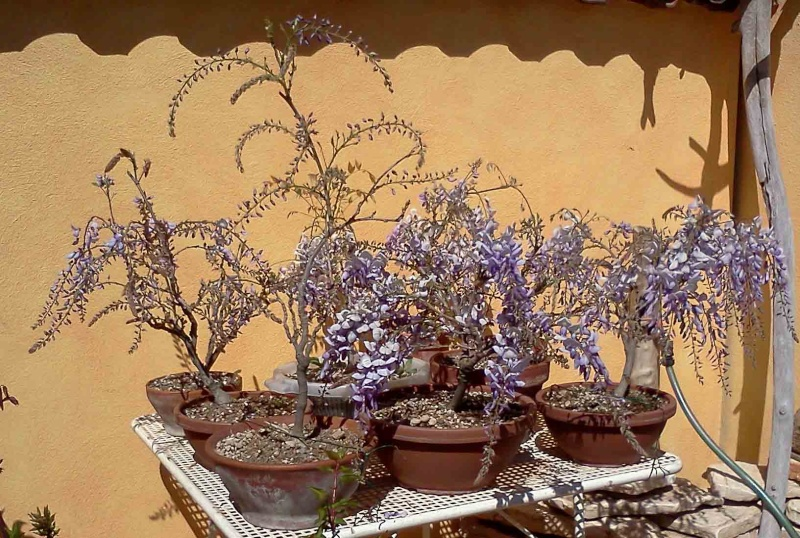 [W.I.P.] Glicine Floribunda Rosea - Pagina 2 Senza_10