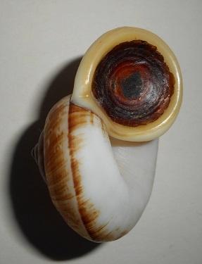 Cyclophorus malayanus (Benson, 1852) Dscn1910