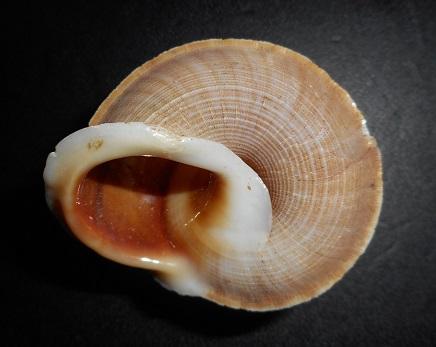 Tropidophora occlusa (Morch, 1852) Dscn2034