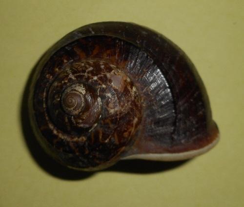 Cyclophorus eximus rouyeri (Bullen, 1906) Dscn2116