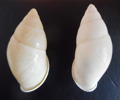 Amphidromus sekincauensis (Dharma,2007) Dscn2210