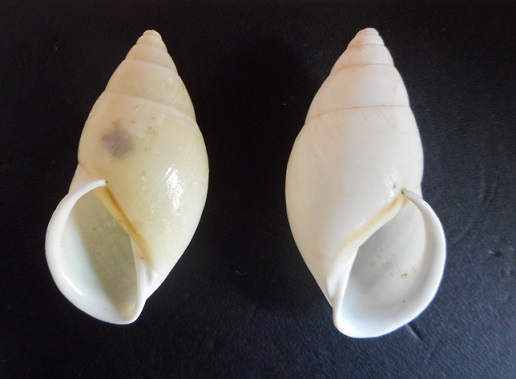 Amphidromus sekincauensis (Dharma,2007) Dscn2211