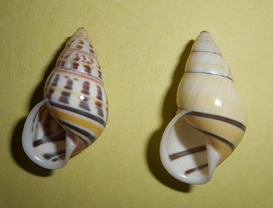 Amphidromus rottiensis (Chan, Siong & Abbas, 2008) Dscn2213