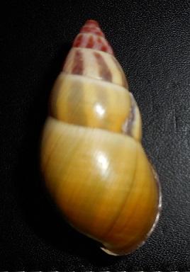 Amphidromus latestrigatus (Schepman, 1892) Dscn2216
