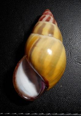 Amphidromus latestrigatus (Schepman, 1892) Dscn2217