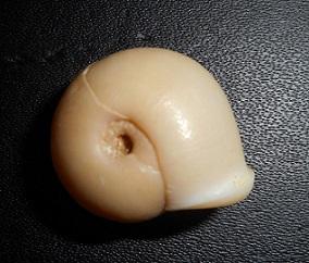 Chloritis vanbruggeni  Maassen, 2009 Dscn2223