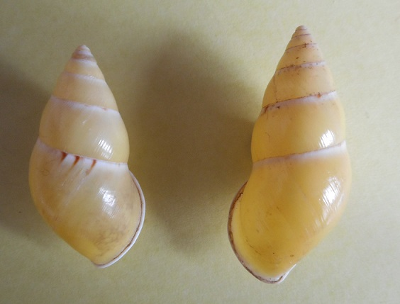 Amphidromus ristiae (Dharma, 2007) Dscn2314