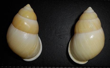 Amphidromus palaceus tener (Von Martens, 1867) Dscn2316