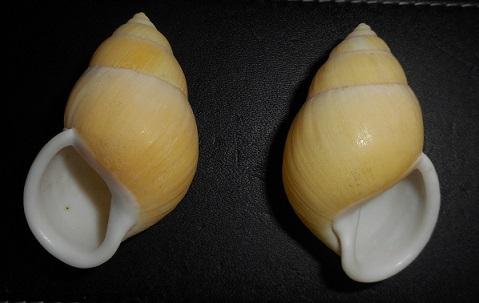Amphidromus palaceus tener (Von Martens, 1867) Dscn2317