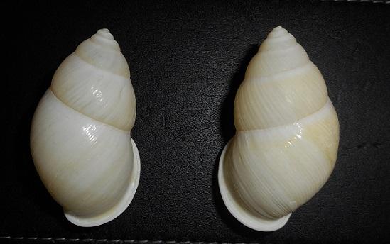 Amphidromus palaceus lemongensis (Dhama, 2007) Dscn2318