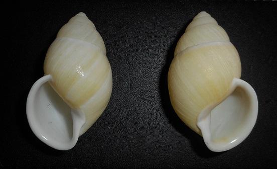 Amphidromus palaceus lemongensis (Dhama, 2007) Dscn2319