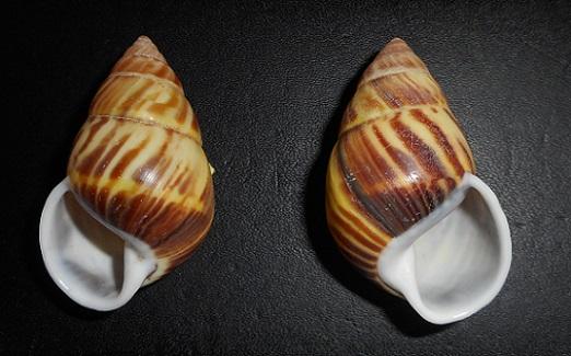 Amphidromus perversus sultanus (Lamarck,1822) Dscn2320