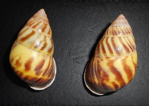 Amphidromus perversus sultanus (Lamarck,1822) Dscn2410