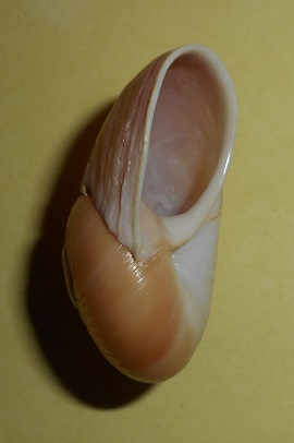 Helicophanta geayi Fischer-Piette, 1950. Dscn2623